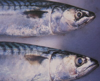 mackerel fish for fish recipes